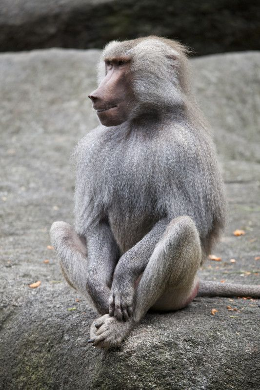 Baboon. What a funny looking thing :)