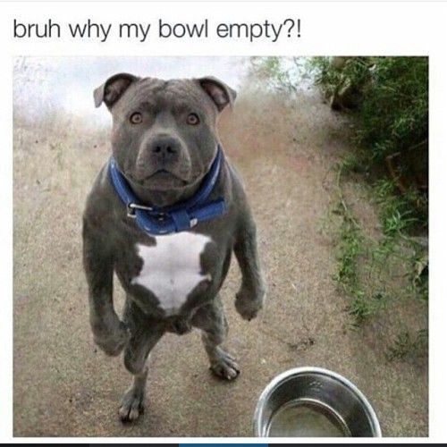 Pitbull Dog Meme Tumblr Animal Humour Funny Dog Pictures