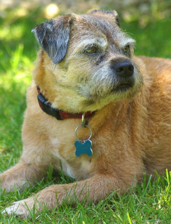 Bertie the Border Terrier - Border Terrier profile.