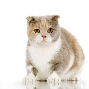chatons scottish fold et straight dispo de suite > Acheter un chaton Scottish Fold > 88 - Vosges France