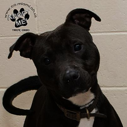 Check Out What I Foundpitbull Mix Puppies For Sale In Colorado
