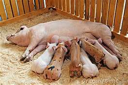 pigs-you do NOT want to get in a pen with a sow and her babies!