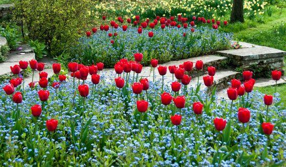 Tulpen und Vergißmeinnicht