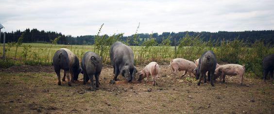 Können Schweine aus der Massentierhaltung je wieder ein normales Leben in Freiheit führen? Ein Experiment.