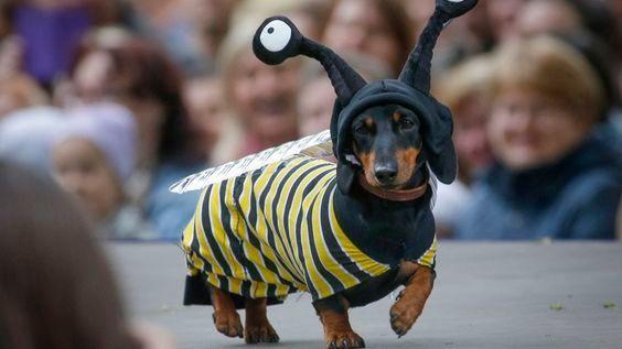 Buzz Buzz It S A Doxie Bee Okay It S Really A Dachshund