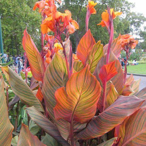 Canna Phasion 1 Rhizome Tropical Landscaping Canna Bulbs Plants