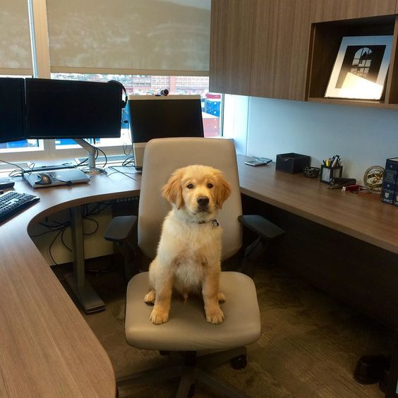 #TBT to when the humans made me work for those delicious milk bones I was allowed to have back then. I also decided to pay all the employees with milk bones as well since I was running the place!  #dailydog #dog_features #dogaccount #dogsofinstagram #dogsofinstaworld #insta_dog #ilovegolden_retrievers #gloriousgoldens #goldenretriever #goldens_ofinstagram #mydogiscutest #dogscorner #petsofinstagram #welovegoldens #animalpicturecom #lacyandpaws #retrieversgram #mygoldenfeatures…