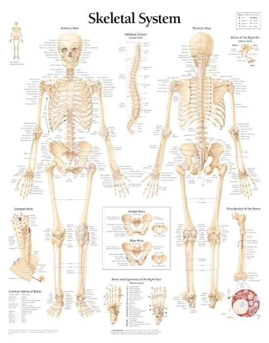 labeled human skeletal system anatomical chart | anathomy, Human Body