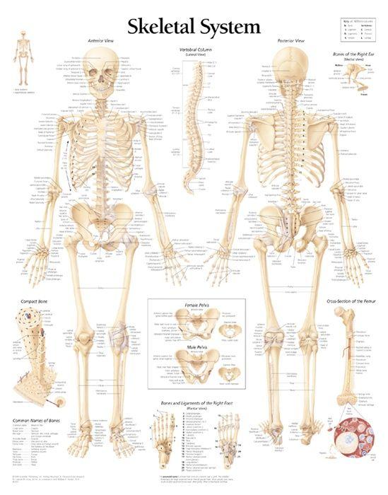 Human Skeletal System Tenderness