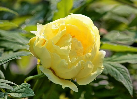 Yellow Peony Flowers | Yellow peony Flower photos | Trees and Flowers Pictures