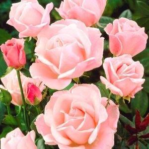 queen elizabeth queen and roses on pinterest. Black Bedroom Furniture Sets. Home Design Ideas