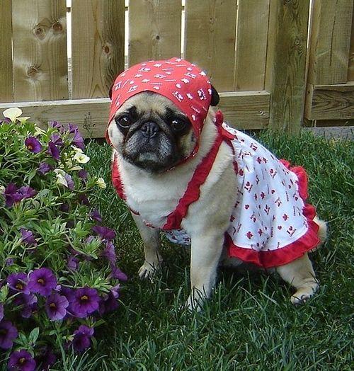 Pug is tending to her garden.