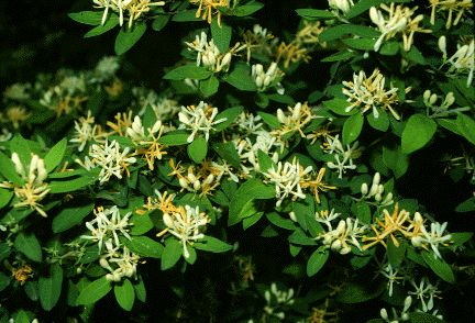 Childhood memory...pinching off a wild honeysuckle flower and sucking out the sweet nectar.
