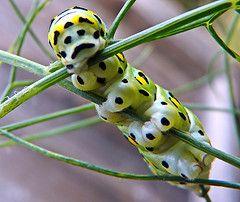 Swallowtail caterpillar by Bill Rosenthal Photography via Flickr