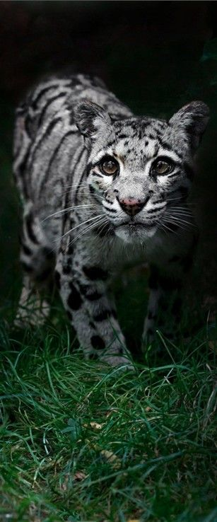 Beautiful clouded leopard at the Wildlife Heritage Foundation in Smarden, Kent, England • photo: Sue Demetriou
