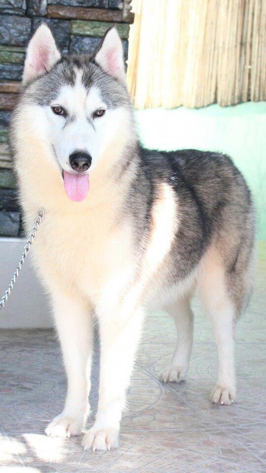 Intelligent Siberian Huskies Dogs Personality