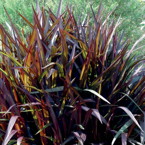 Grasses purple and thrillers on pinterest for Tall purple ornamental grass