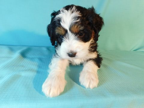 Miniature Bernedoodle Puppy For Sale In Millersburg Oh Adn 71946