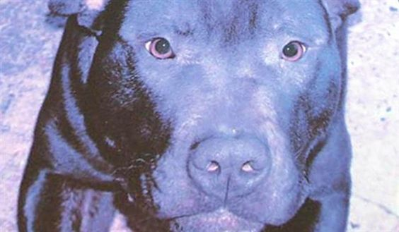 """The council acknowledged the """"good will"""" on the part of those trying to save the dog, but said it had a duty """"which it performs reluctantly"""" to ensure public safety.  A 28-day deadline for any intervention or further appeal runs out at midnight on Tuesday and, with the council ruling out re-homing, it looks almost certain that Lennox will be put to sleep :((("""