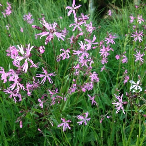 ragged robin in the meadow