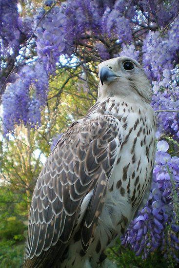 Beautiful falcon and wisteria flowers