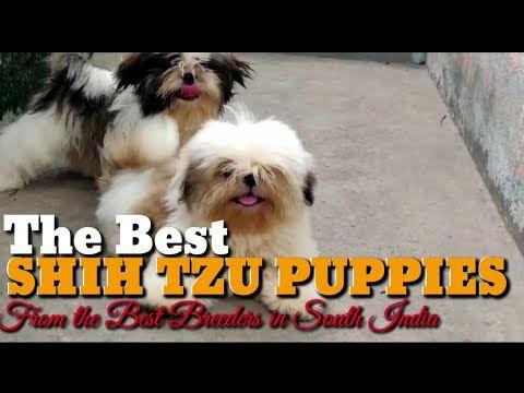 Lhasa Apso Maltese Pekingese Poodles Shihtzu Yorkshires
