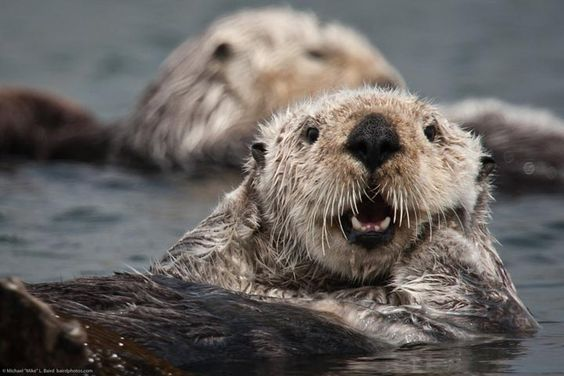 Otters Are Climate-Saving Creatures - After studying 40 years worth of data, researchers from the University of California Santa Cruz have found that sea otters play an active role in combating climate change, reports Discovery News. And it's all thanks to their love of sea urchin, a natural predator of the carbon-absorbing coastal seaweed, kelp. In the absence of otters, urchins dine like kings, but in their presence, the spiny creatures hide and feed mostly on leftover plant matter.