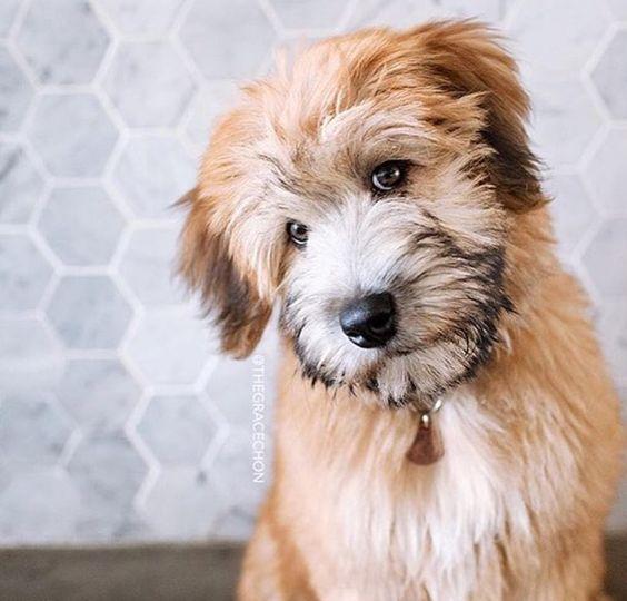 Irish Soft Coated Wheaten Terrier Dog