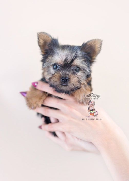 Yorkie Poo Puppy For Sale Teacup Puppies 423 Teacup Puppies