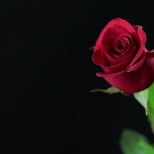 35 Gambar Black Background Red Rose Hd Wallpaper Terbaru 2020 Mawar Merah Wallpaper Mawar Merah Mawar