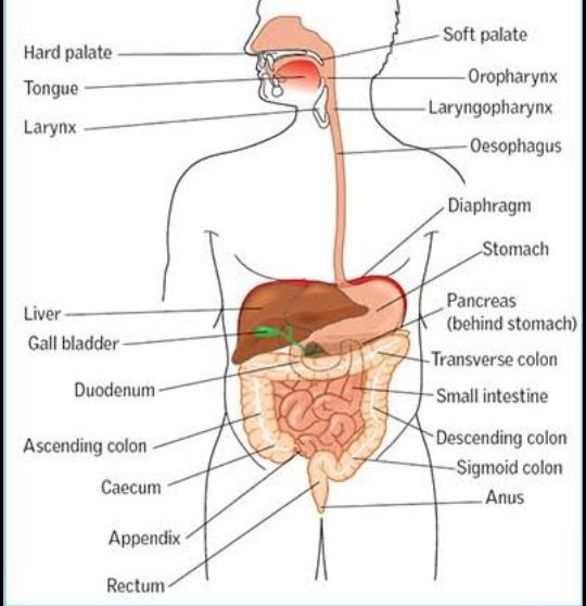 Step By Step Tutorials On Drawing Biology Diagrams Human Digestive System Digestive System Diagram Digestive System Anatomy