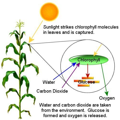coloring plants and leaves on pinterest : chlorophyll diagram - findchart.co