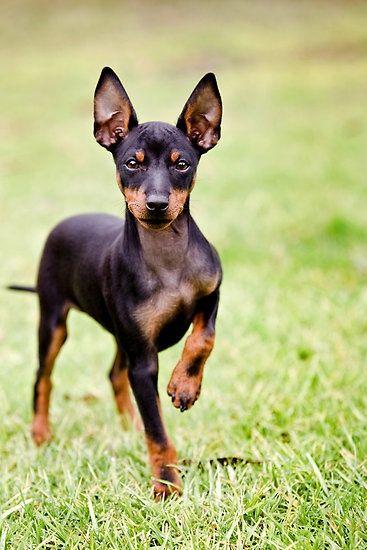 Toy Manchester Terrier Puppy | Animals Zone