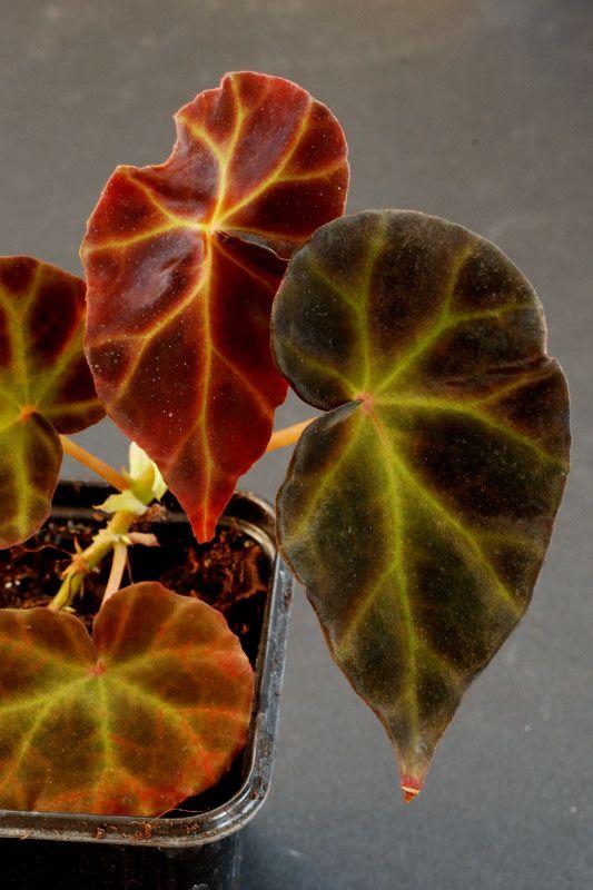Begonia rubida: