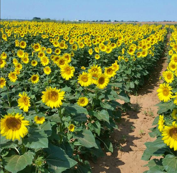 Most People Don T Know About This Magical Sunflower Field Hiding In Oklahoma Sunflower Fields Planting Sunflowers Giant Sunflower