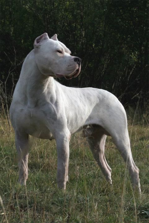 Pin By Dog Lover On Dogo Argentino With Images Huge Dogs Dog Argentino Argentinian Dog