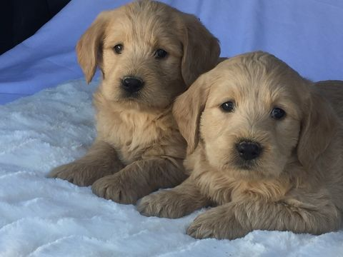 Labradoodle Puppy For Sale In Scottsdale Az Adn 72165 On