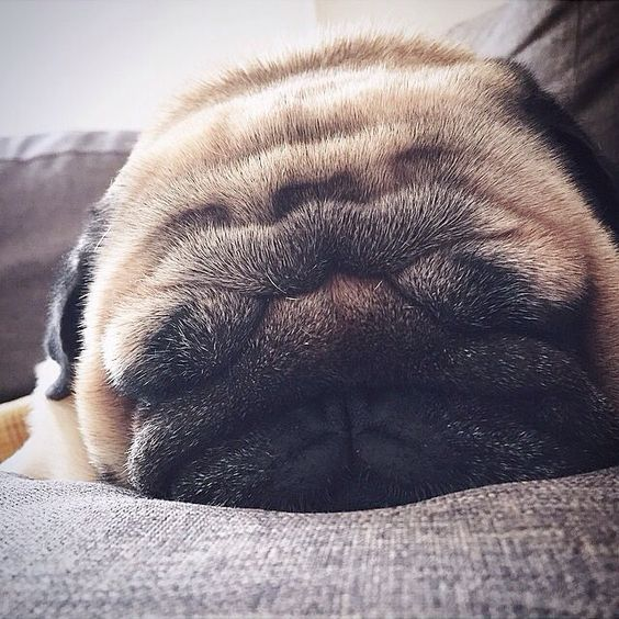 A @lazypug for a lazy Monday. #wheredidmyeyesgo  #petnetio #pug #puglife
