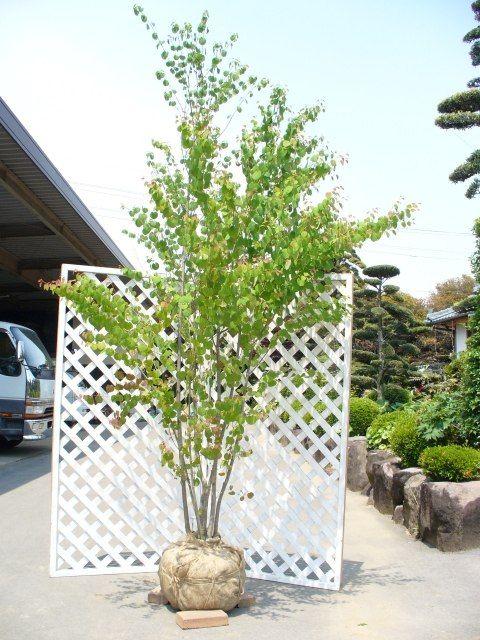 トオヤマグリーン カツラ 販売商品 植木の種類と育て方 植物 外