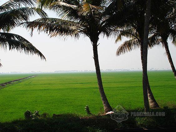 Kerala Photo - Kerala's Paddy Fields and Coconut Trees Download Kerala ...