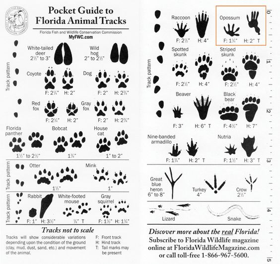 Pocket Guide to Florida Animal Tracks