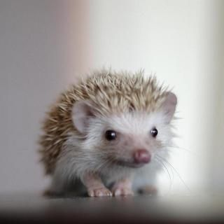 I literally love every picture of hedgehogs.: