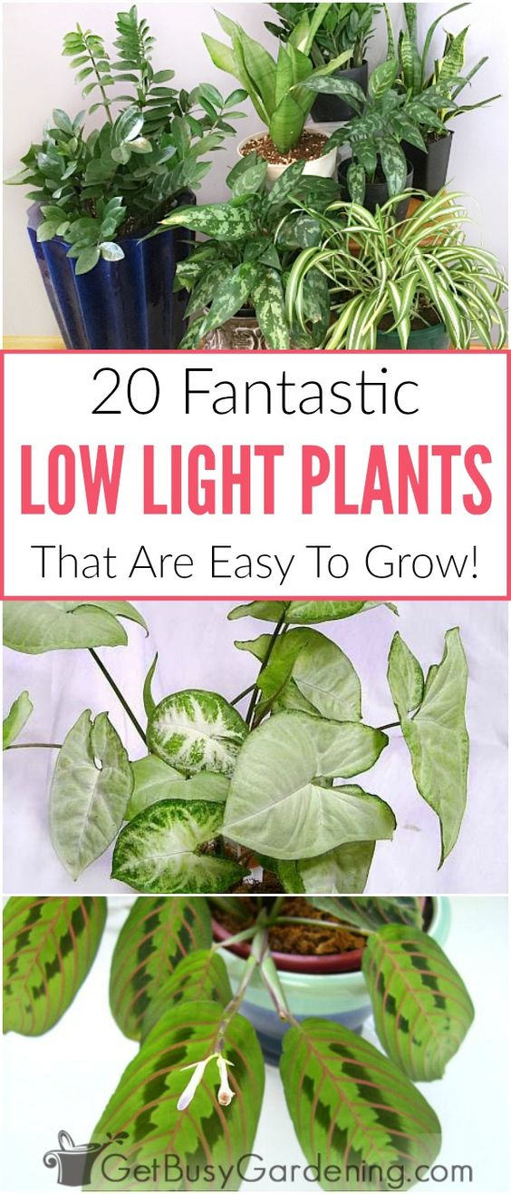 There is no such thing as real indoor plants thatgrow in complete darkness, but there are lots of good indoor plants that grow in low light conditions. Many of the common houseplants you can buy are low light indoor plants, and they're easy to grow too! Here's a list of my top picks for the best houseplants for indirect light areas of your home.
