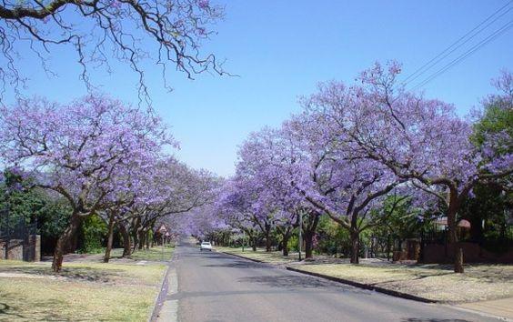 vadoavivereinsudafrica   Jacaranda trees, Pretoria