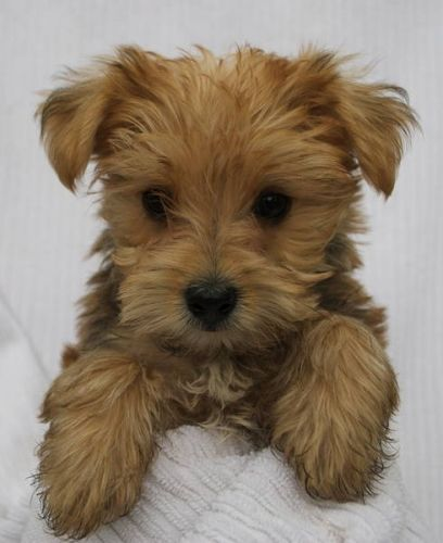 morkie dogs cute So cute! I want one! Cute animals