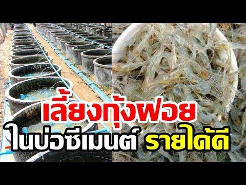 เล ยงก งฝอยในบ อป น เล ยงง าย ลงท นน อย ขายได ราคาด 400 บาท ก โลกร ม Youtube อาหาร แป งข าวโพด
