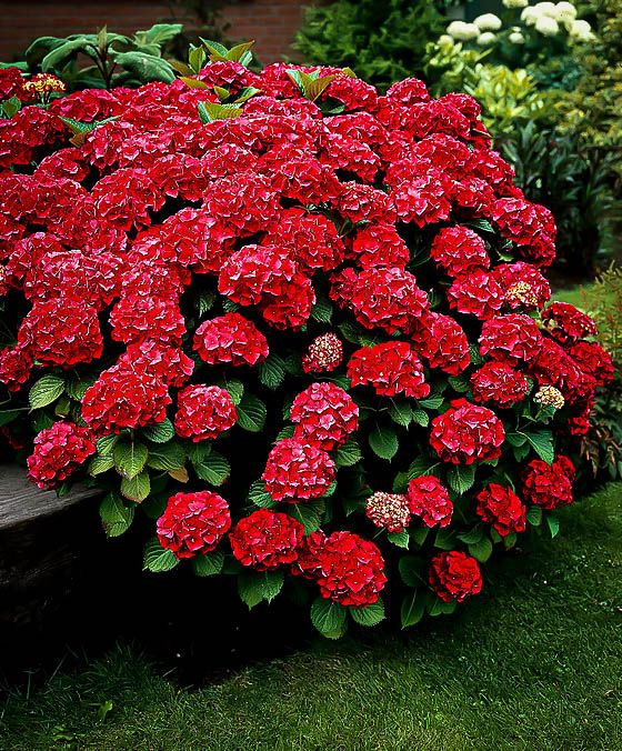 Red Sensation Hydrangea Hydrangeas For Sale Red Hydrangea Hydrangea Garden