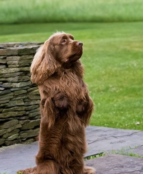 The Sussex Spaniel originated in 19th century Sussex England, where they were used as hunting dogs. The Sussex was bred to be smaller and slower than other spaniels to allow the hunters to follow them on foot. Wanna know more about this breed? Click here!