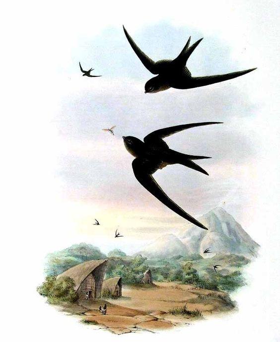 Palma Africana Swift - Cypsiurus Parvus