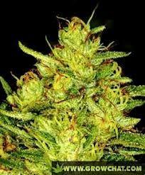 Growing Marijuana Effective Watering Tips  http://www.growchat.com